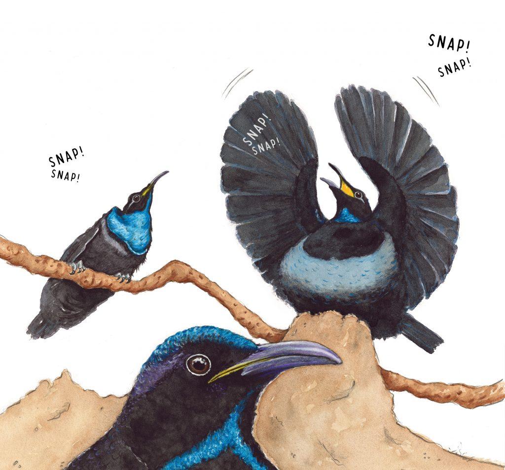 Cato_Riflebirds