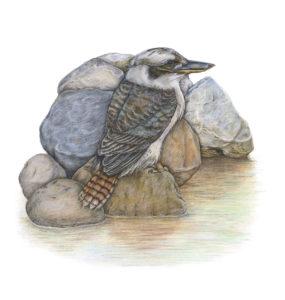 Tranquility - Australian Kookaburra